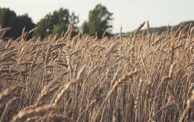 SLC - Slc Wheat