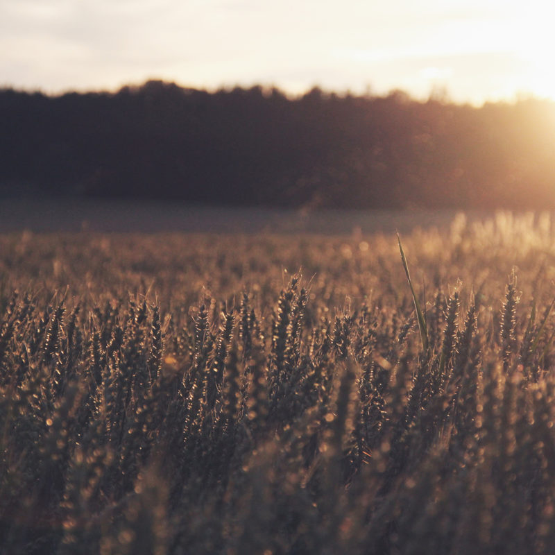 SLC - Wheat 3 Insta